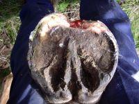 Toe crack progressed to sub-solar abscess