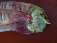 Post Mortem. Necrotic bowel caused by Strongyle obstruction